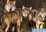 Глутници вълци вилнеят в странджанско