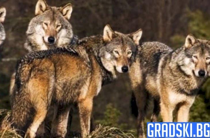 Вълци скачат на беззащитни стада