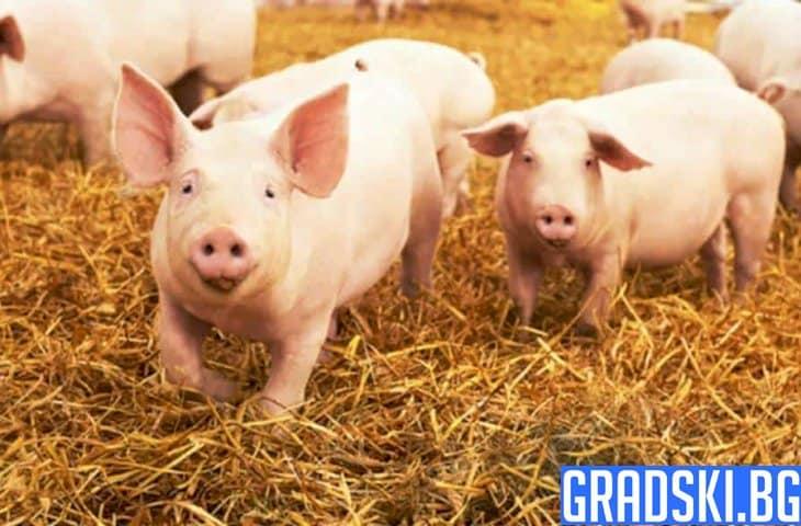 Повече от 4 милиона лева ще бъдат отделени за хуманно отношение към свинете