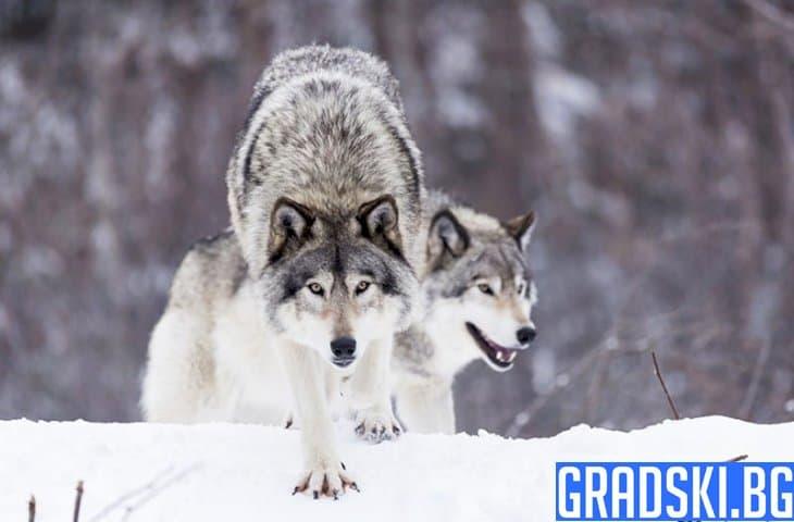 Ето как вълците се справят със своите проблеми