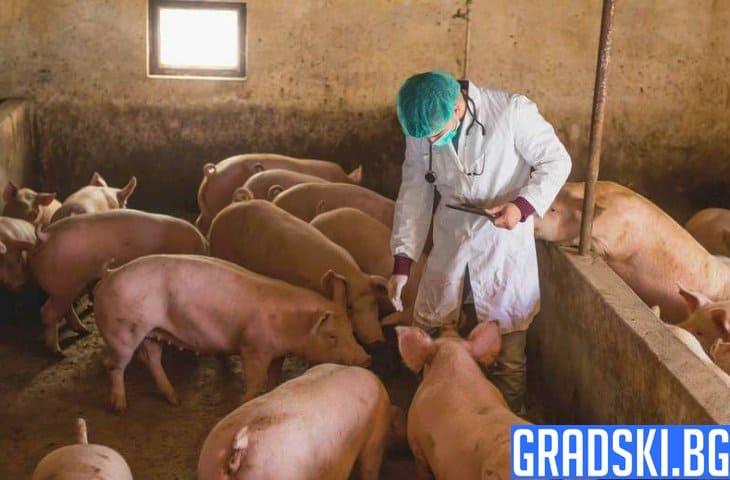 Африканската чума по свинете и в Южна България
